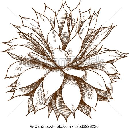 450x450 engraving illustration of agave bush vector antique engraving