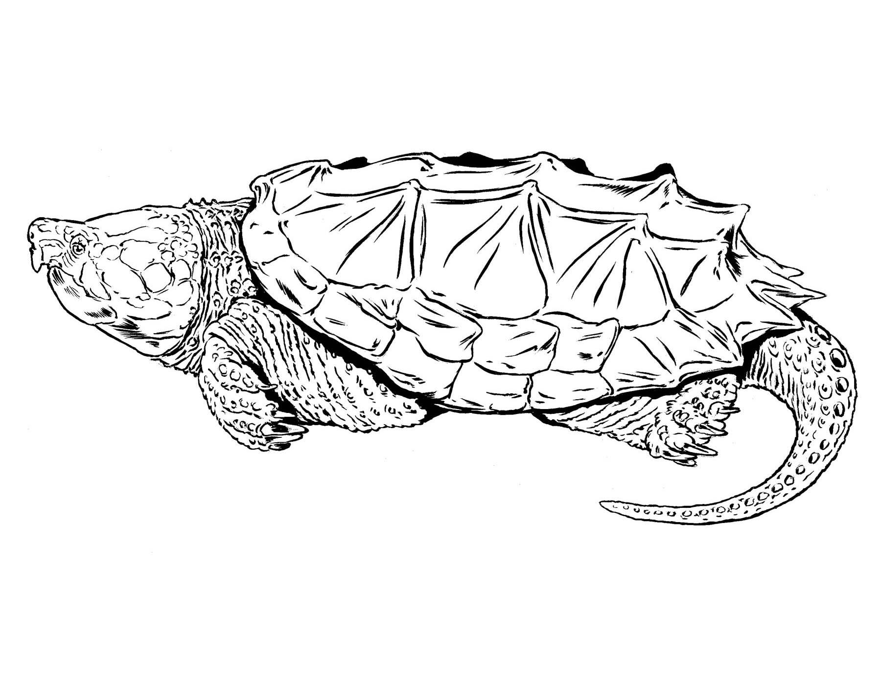 1800x1400 Alligator Drawing For Kid Big Pencil Tutorial Color Iydunetwork