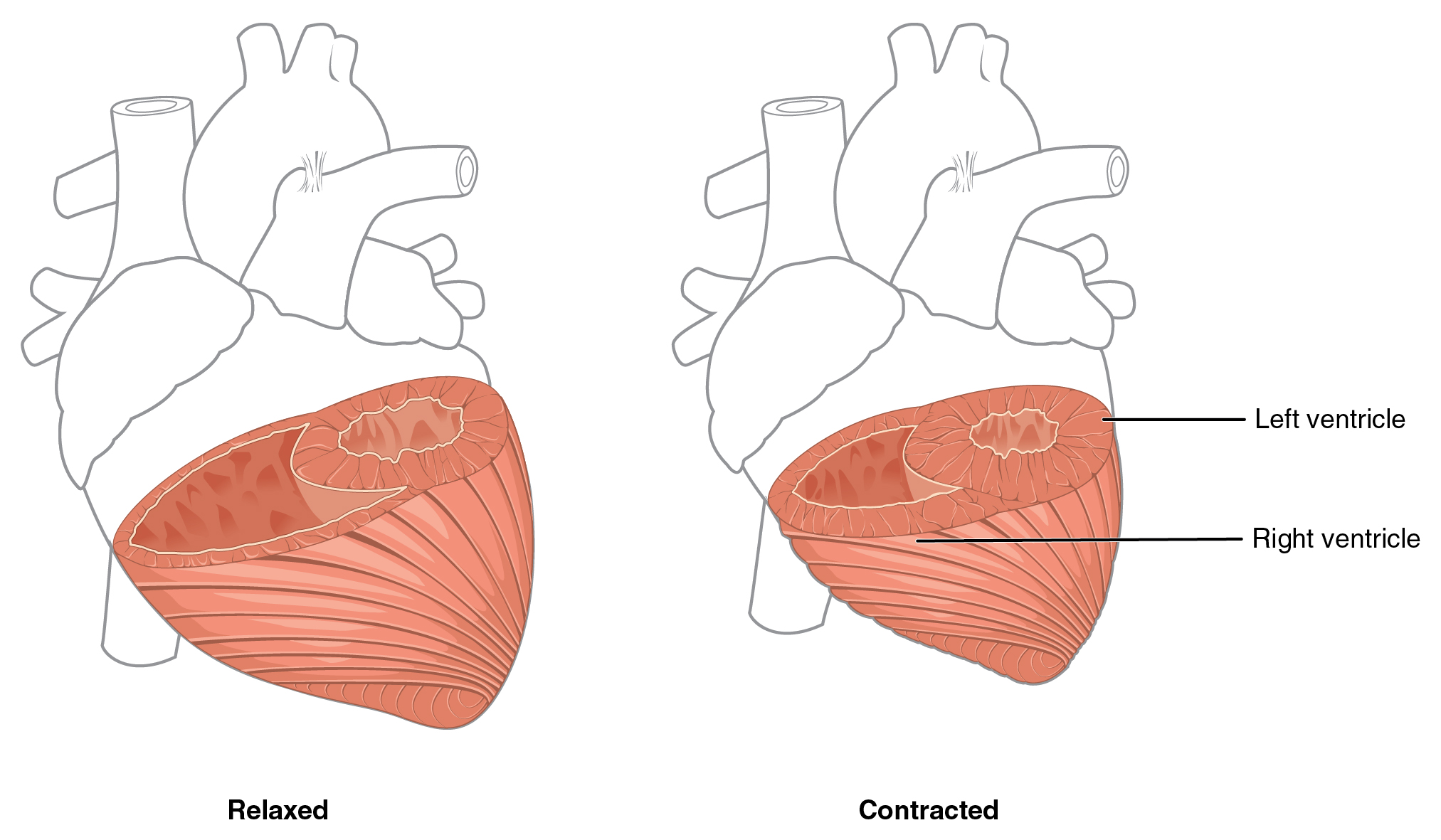 2025x1181 Collection Of Free Cardiacle Clipart Anatomically Correct Heart