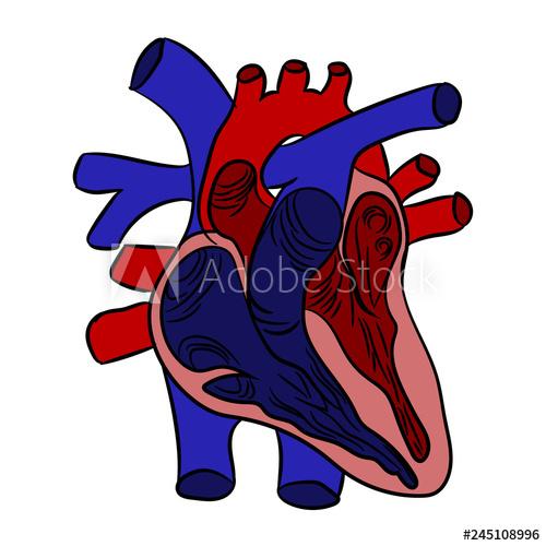 500x500 Human Heart Anatomy In Section Human Heart Anatomically Correct