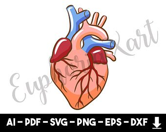 340x270 Anatomical Heart Etsy