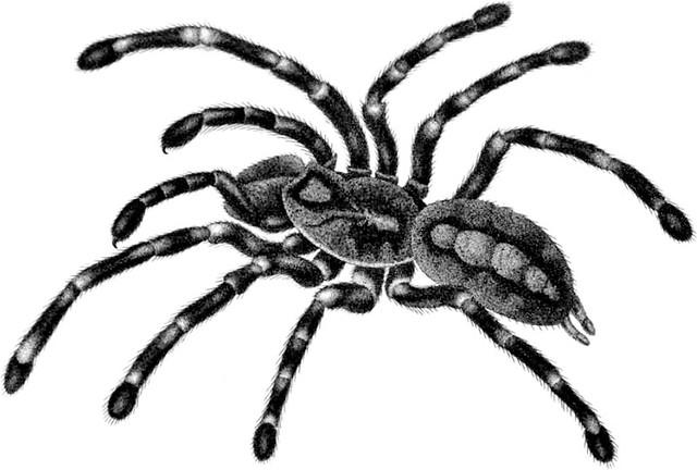 640x432 mygale fasciata fem from the animal kingdom, arranged