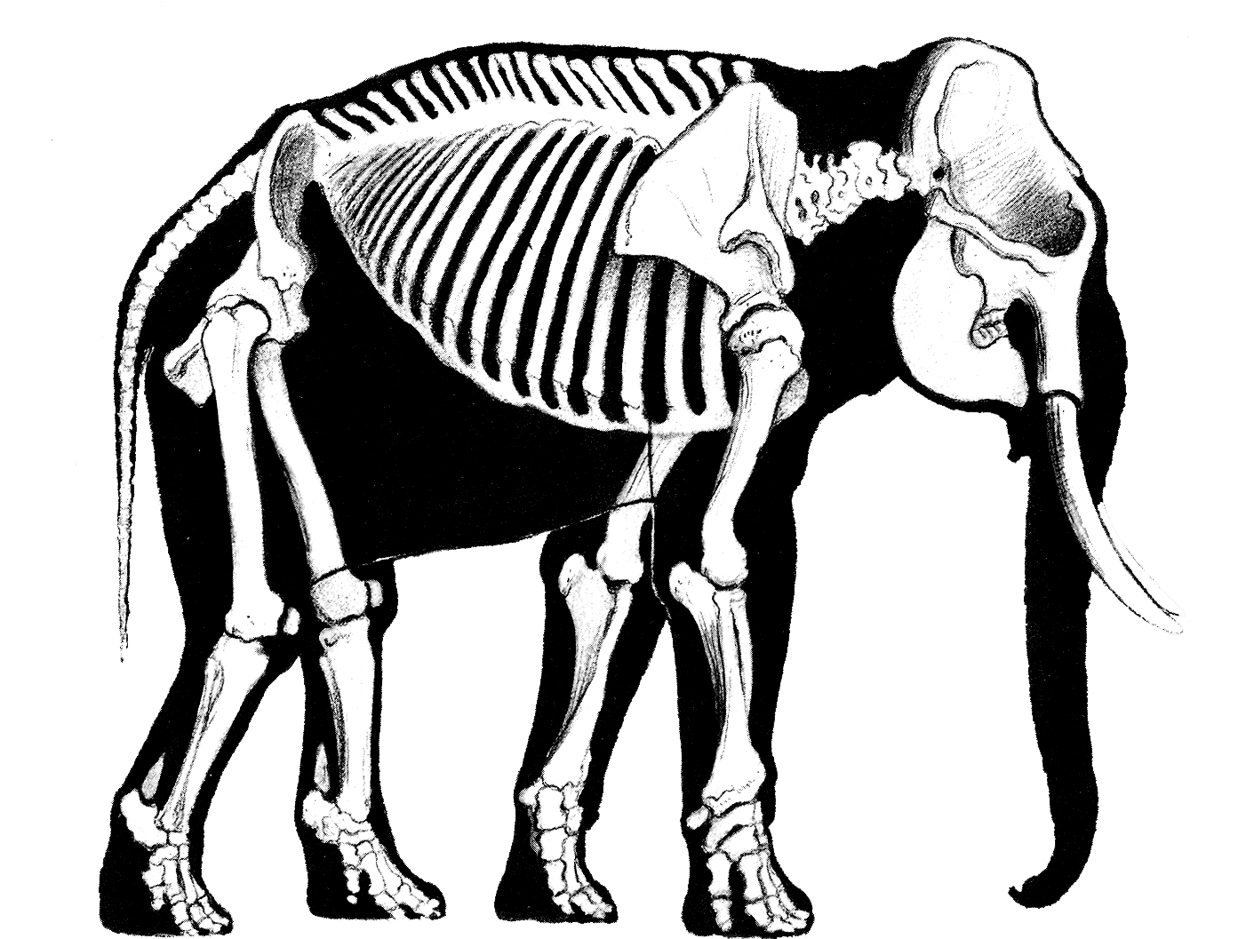 1411x1057 Collection Of Free Elephant Drawing Skeleton Download On Ui Ex