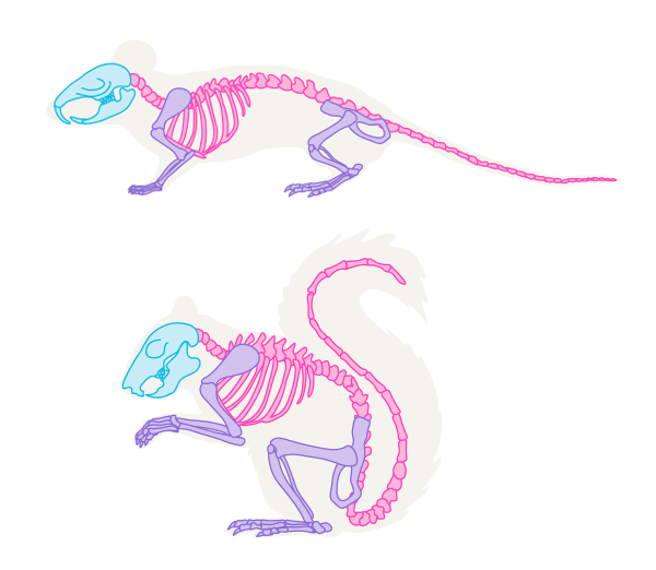 600x522 How To Draw Animals Small Rodents And Their Anatomy
