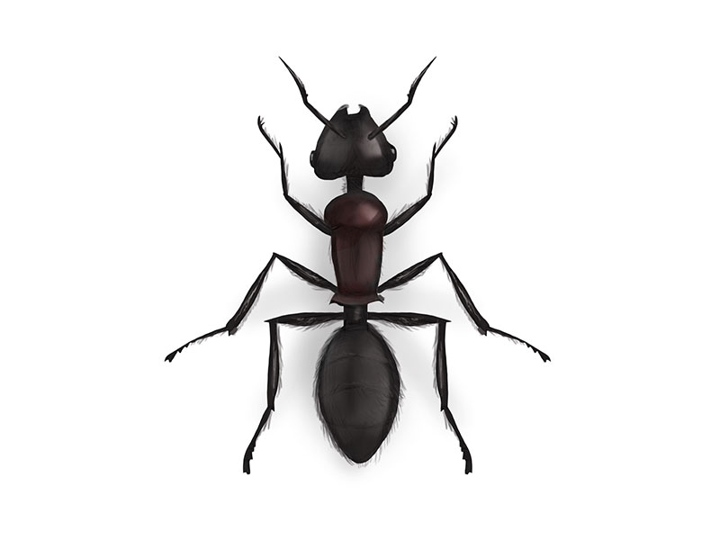 800x600 Ant Drawing