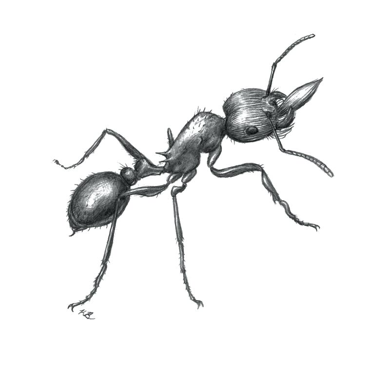800x770 Sketch Of An Ant Ants Sketch Synchronized Swimming