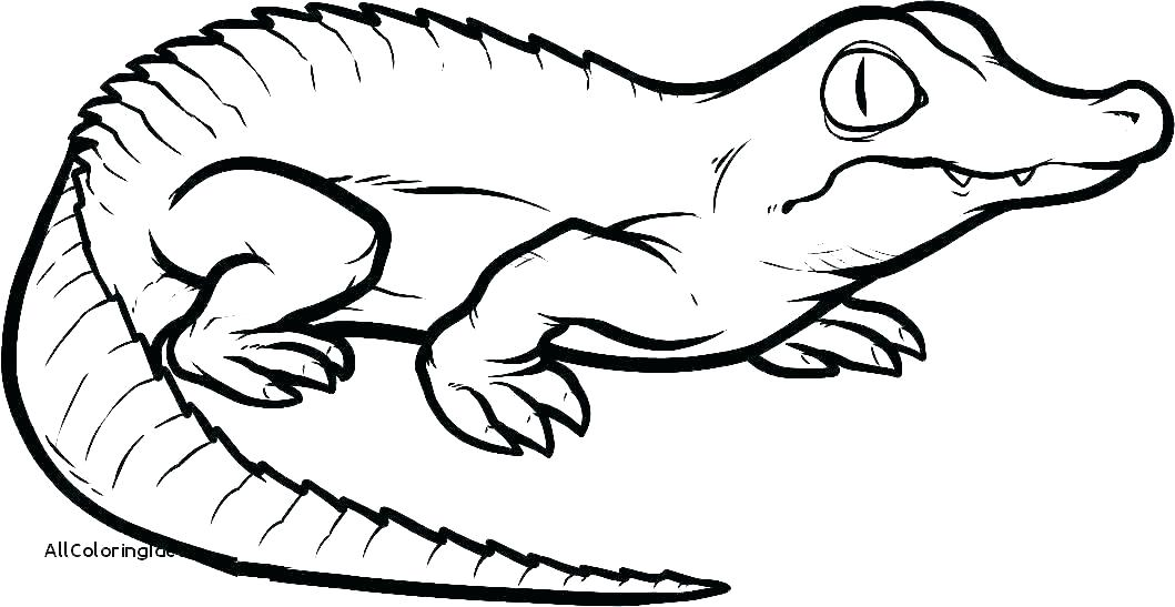 1059x547 alligator drawing alligator drawing alligator drawing easy
