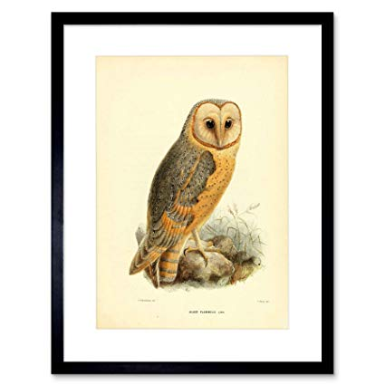 425x425 Drawing Bird Rowley Keulemans Barn Owl ' Black Frame