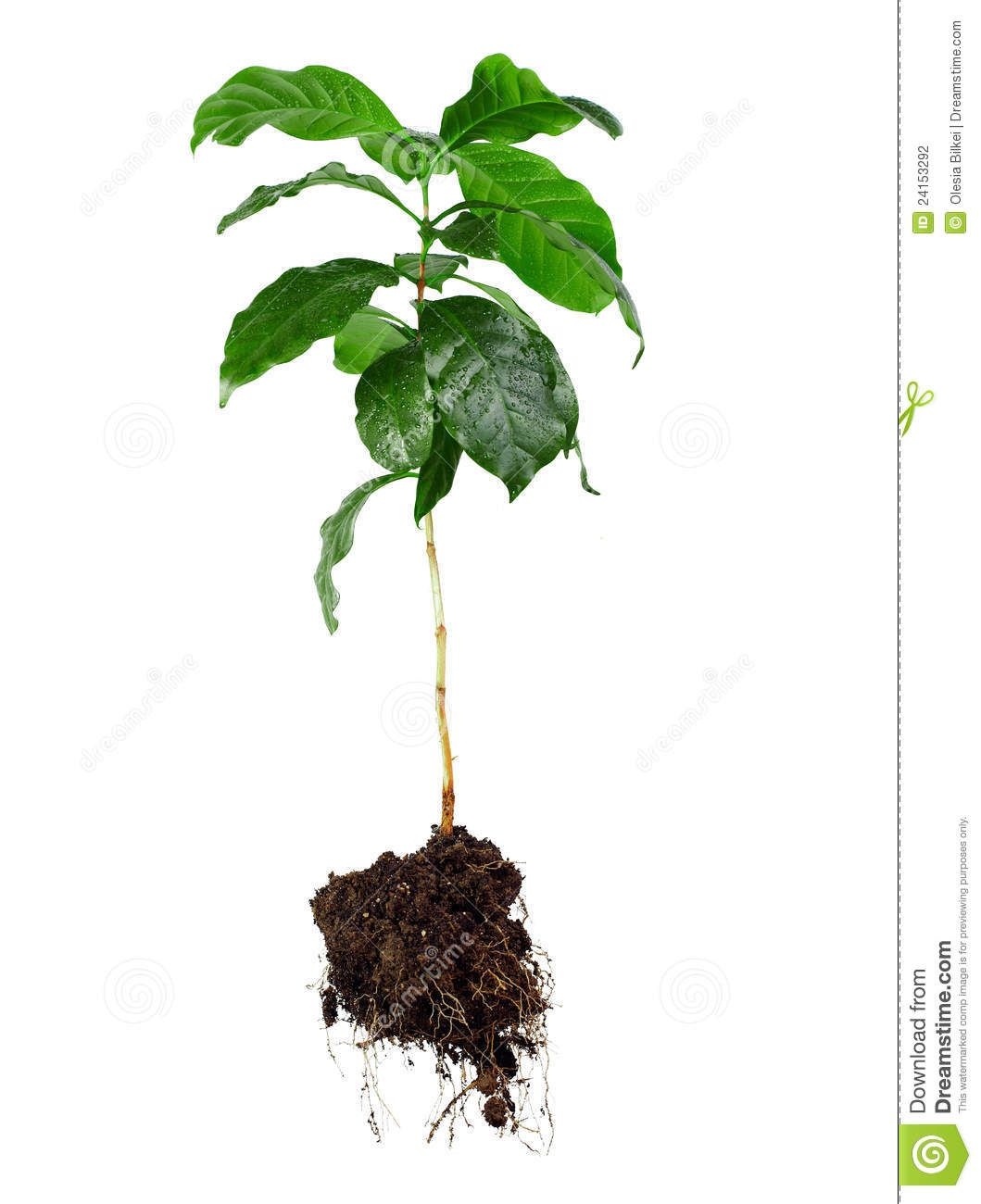 1059x1300 tree with roots drawing basil plant, plants, roots