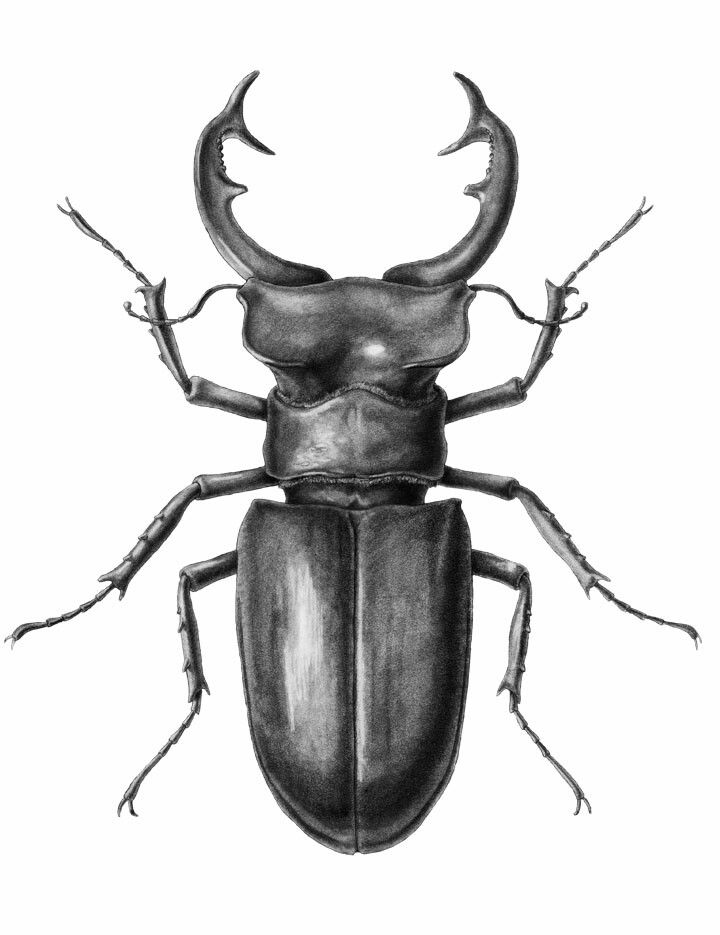 720x935 stag beetle lines, beautiful lines in beetle drawing