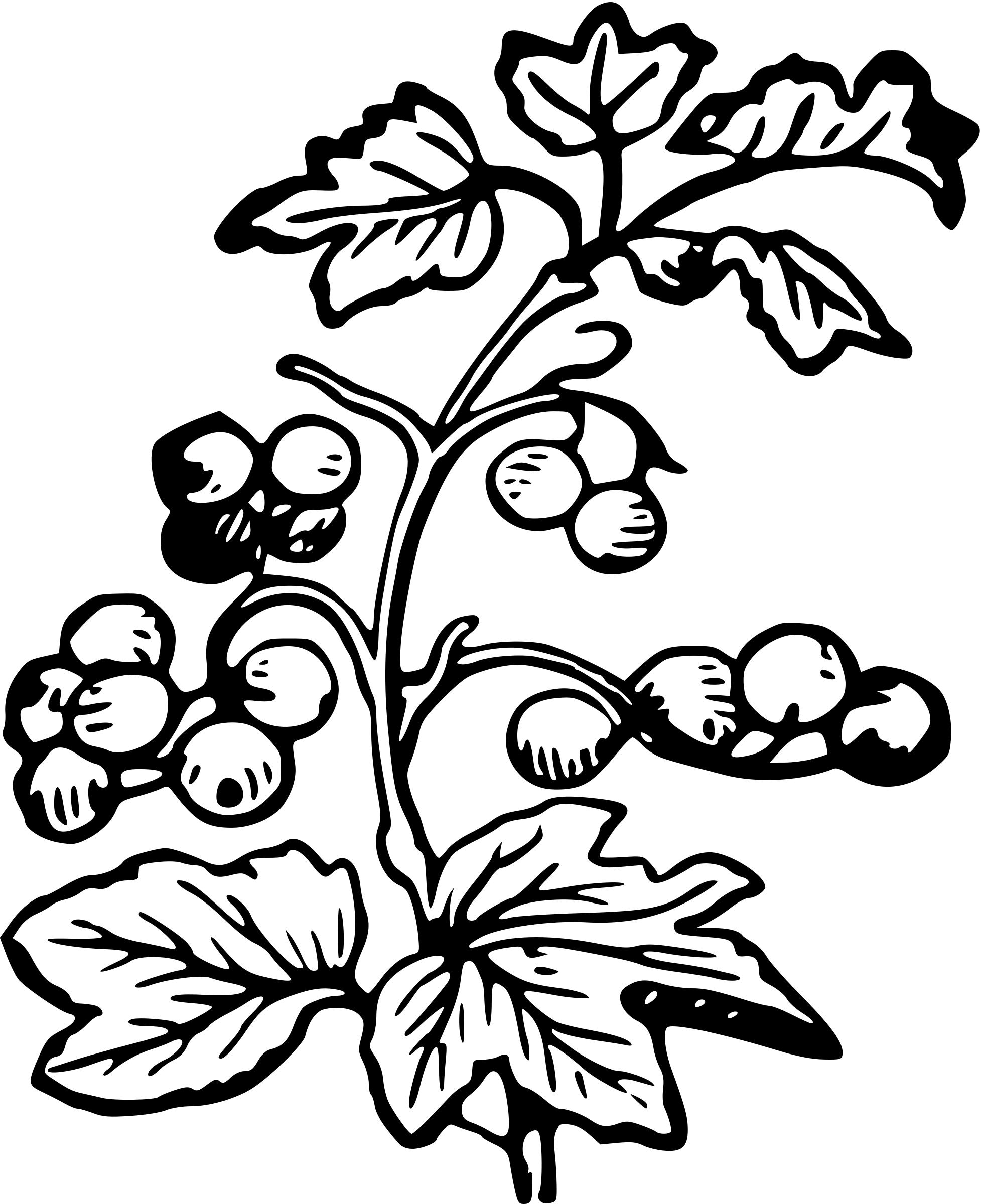 1955x2400 berry drawing berry plant for free download