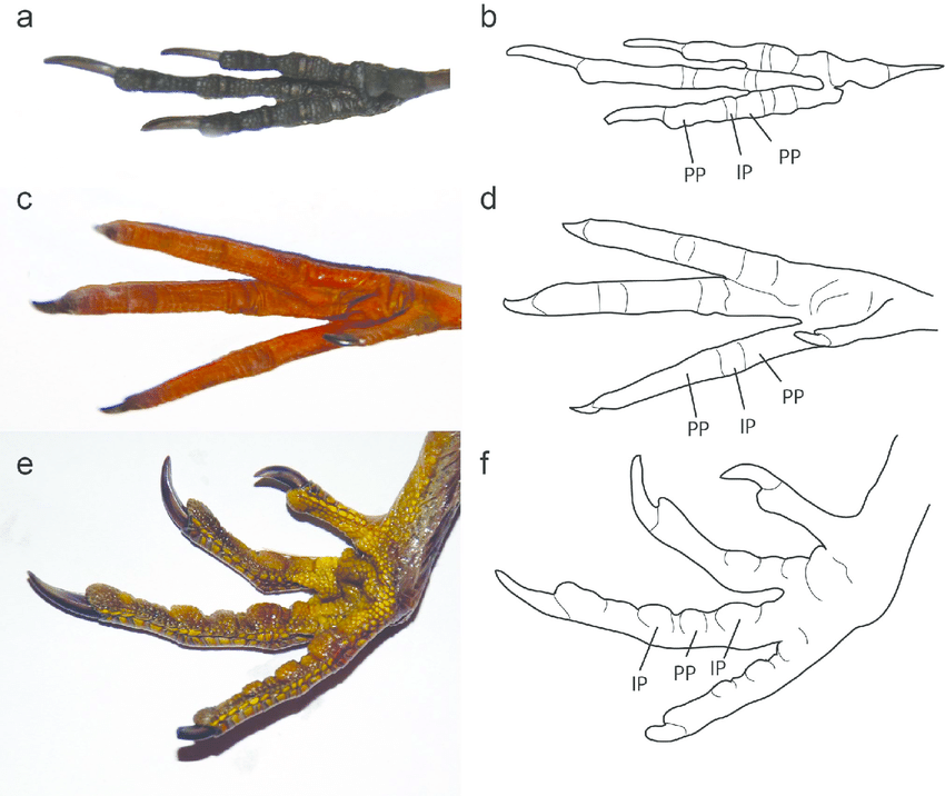 850x716 Examples Of Modern Bird Foot Morphology Photographs And Line