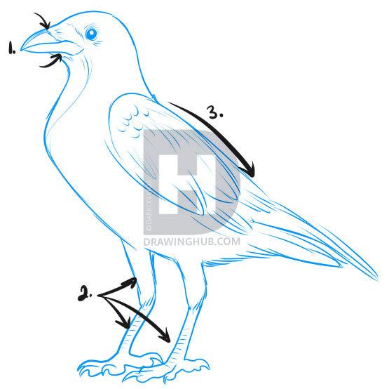 555x554 How To Draw A Crow, Step