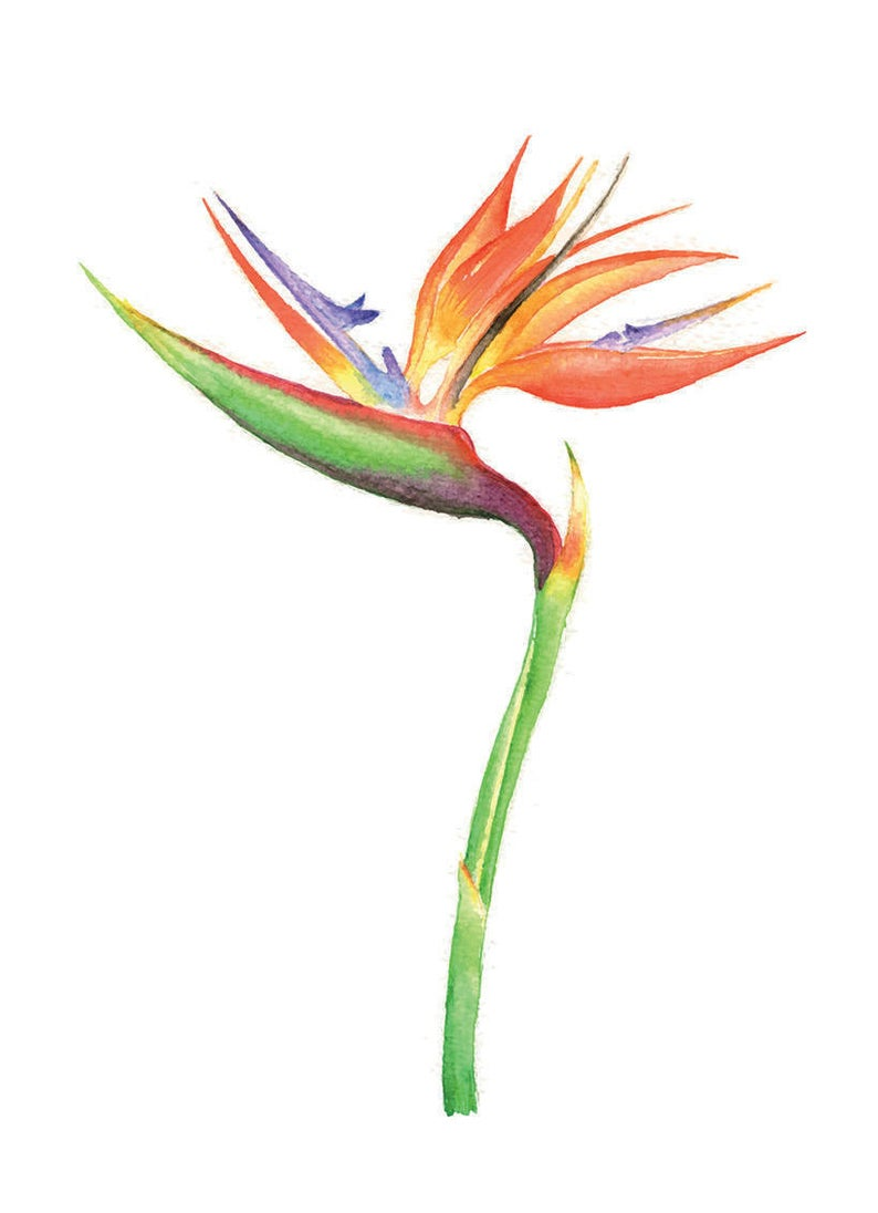 794x1096 bird of paradise bird of paradise print flower watercolor etsy