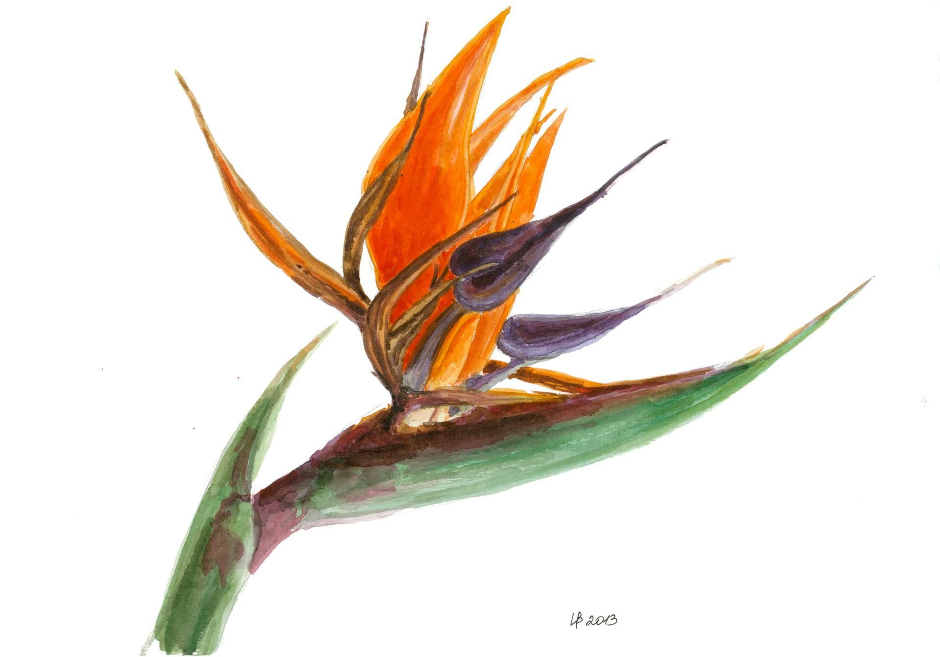 1920x1342 Bird Of Paradise Flower Painting