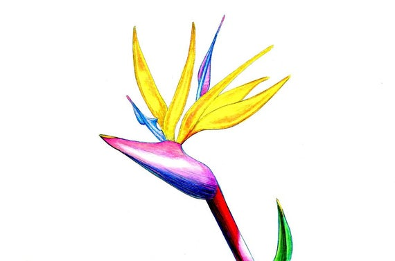 570x377 Bird Of Paradise Art Print Of An Original Drawing Available Etsy