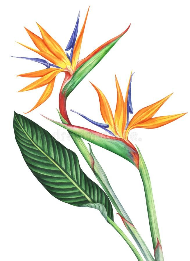 654x900 Bird Of Paradise Flowers Ion White Background Hand Drawn