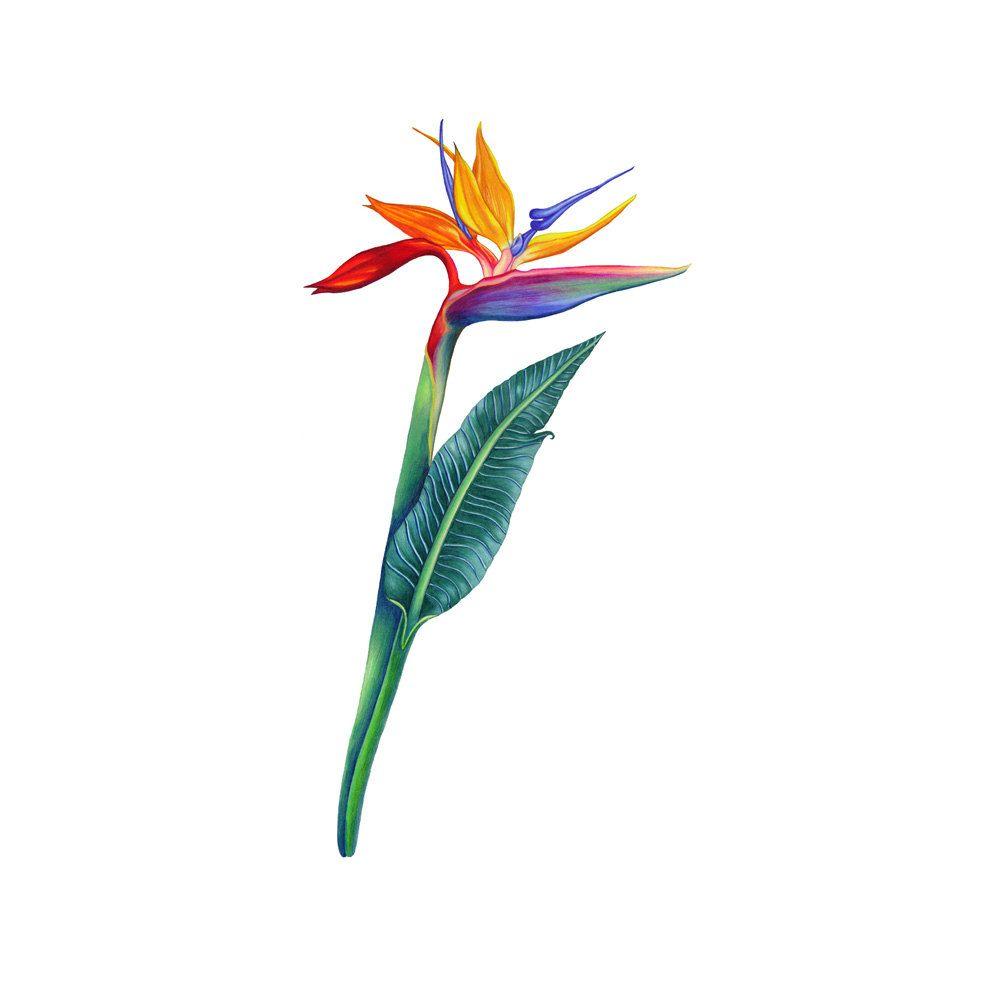 1000x1000 Birds Of Paradise Flower
