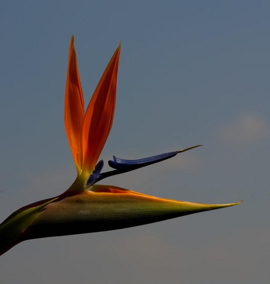 871x916 Bird Of Paradise Flower Drawing