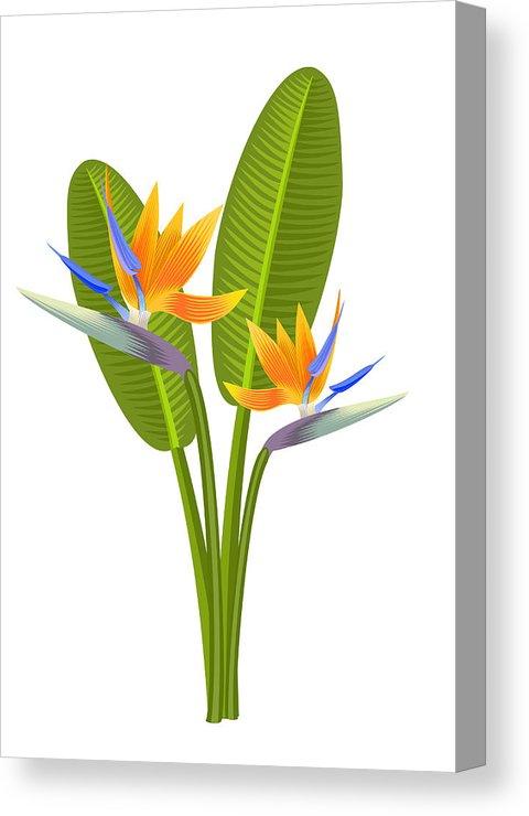 480x740 Bird Of Paradise Flowers Vector Illustration Canvas Print