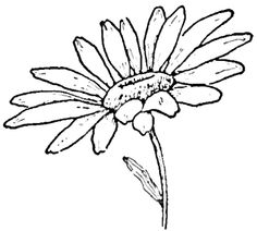 236x212 Best How To Draw Daisies Images In Daisy Drawing