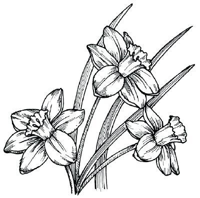 400x397 How To Draw A Daffodil Image How To Draw Daisy Flower Step