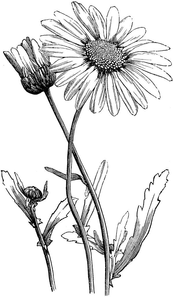 598x1024 Image Result For Daisy Botanical Drawing Art In Daisy