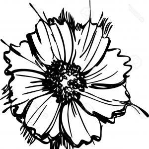 300x300 Black And White Daisy Flower Isolated Gm Sohadacouri