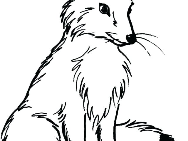 640x480 arctic fox coloring pages arctic fox coloring