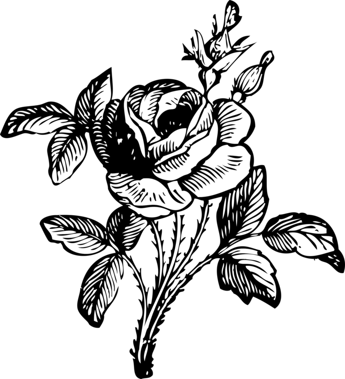 683x750 Black Rose Drawing Art Black And White Cc0