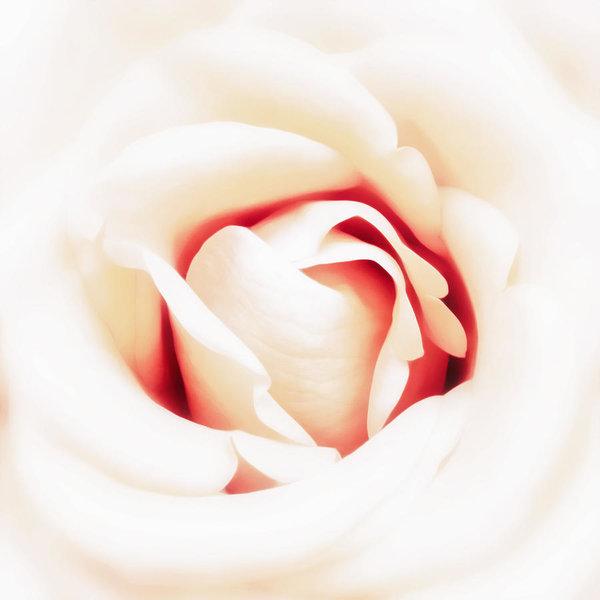 600x600 blood rose photographs fine art america