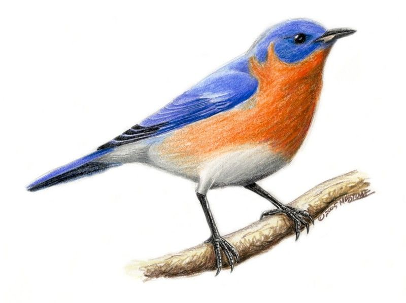 Blue Bird Drawing Free Download Best Blue Bird Drawing On