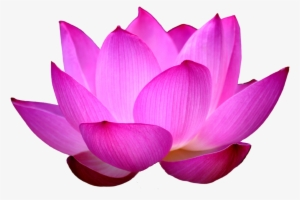300x200 Lotus Flower Png, Transparent Lotus Flower Png Image Free Download