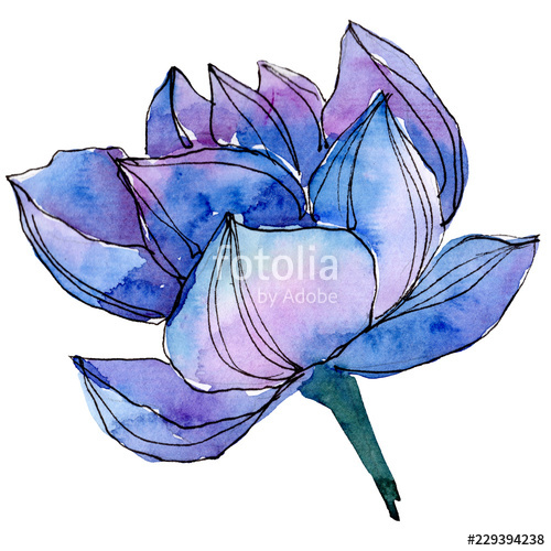500x500 Watercolor Blue Lotus Flower Floral Botanical Flower Isolated