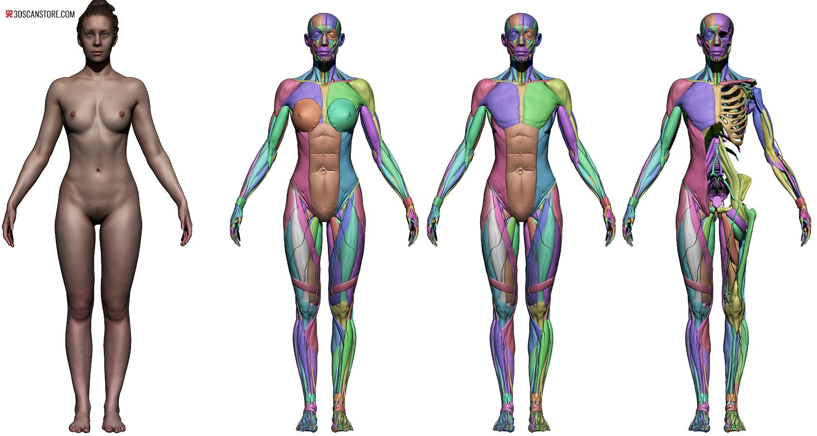 1684x899 female reference images in anatomy anatomy