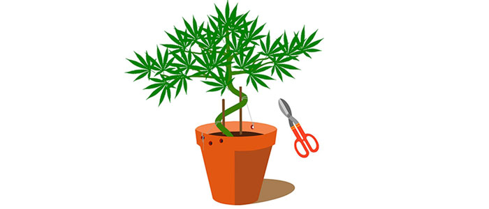 700x300 How To Grow A Cannabis Bonsai Tree From Scratch