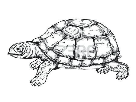 450x338 box turtle drawing box turtle shell drawing ornate box turtle