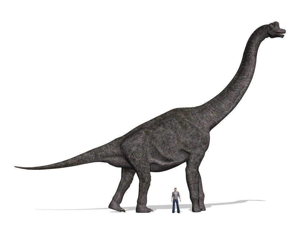 1000x779 Brachiosaurus Facts About The Giraffe Like Dinosaur Elementary