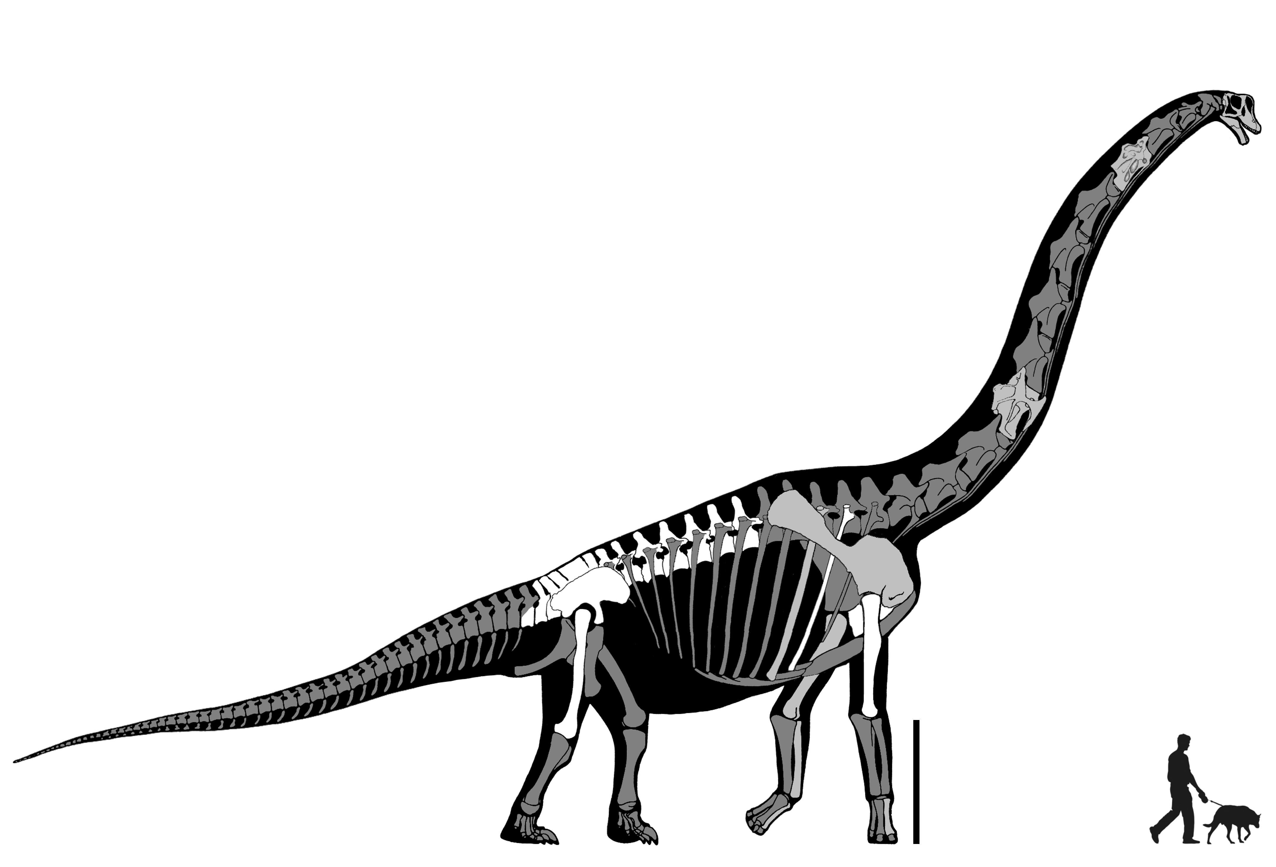4320x2937 Fossil Drawing Brachiosaurus For Free Download