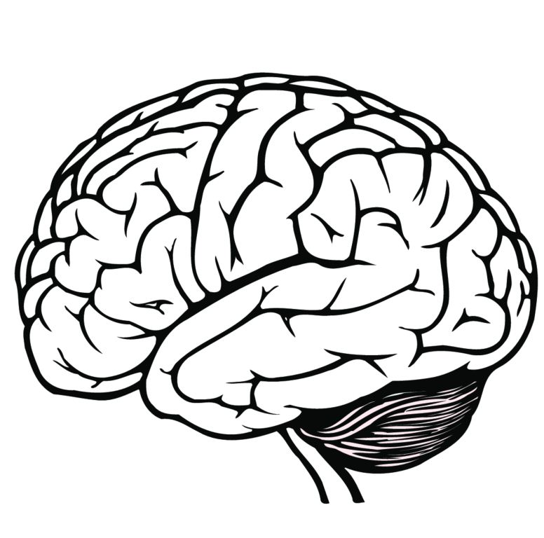 Brain Anatomy Drawing