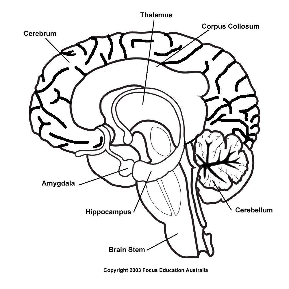 Brain Pencil Drawing