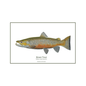 300x300 Male Brown Trout Painting