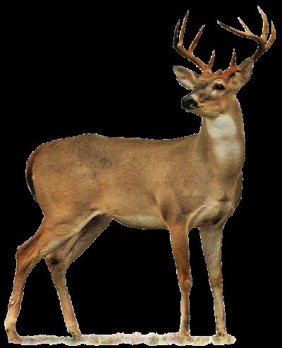 400x493 Download Free Png Full Body Deer Drawings Buck