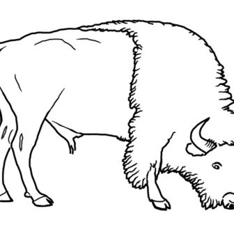 336x336 Bison Face Drawing Pictures Cool American Line A Iydunetwork