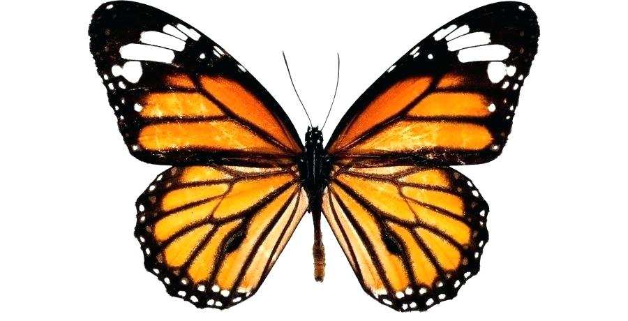 900x460 How To Draw Buterfly Draw Easy Butterfly Step
