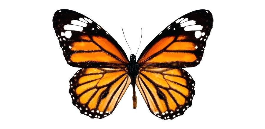 900x440 Drawing A Butterfly How To Draw A Realistic Butterfly Step