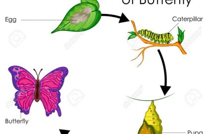 420x270 Life Cycle Of A Butterfly Information