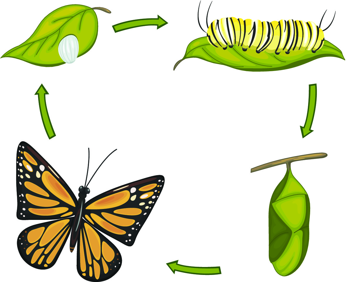 1178x958 Life Cycle Of A Butterfly Pictures On Animal Picture Society