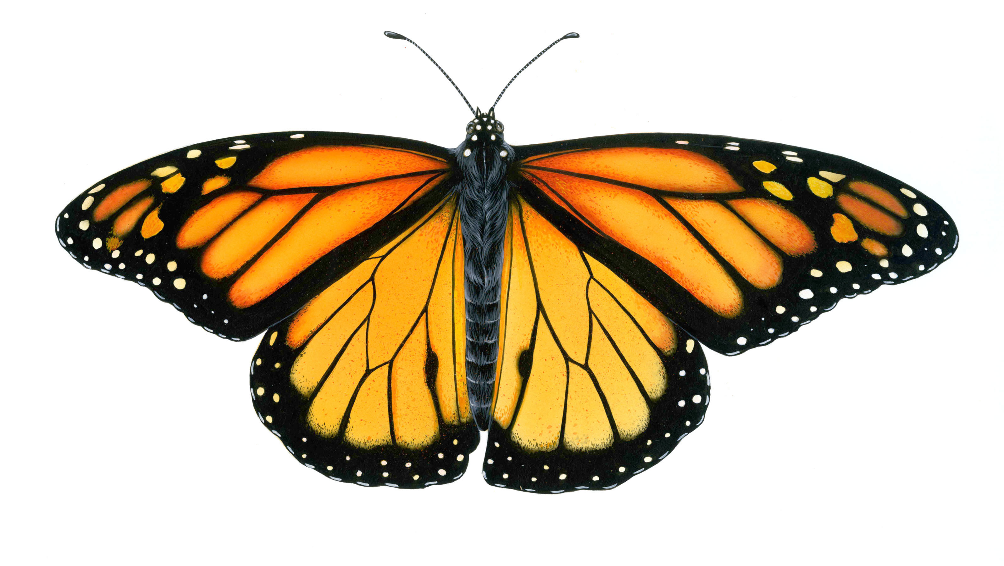 3193x1800 Monarch Butterfly Drawing Free Download Clip Art
