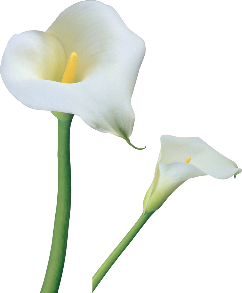 840x1019 drawing lilly calla lily huge freebie! download for powerpoint